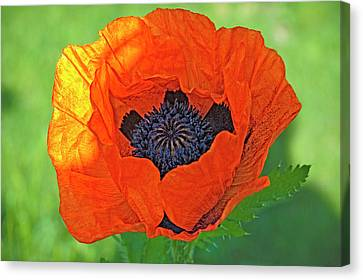 Close-up Of A Flowering Orange Poppy Canvas Print