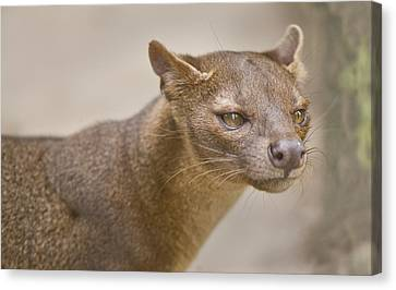 Close-up Of A Fossa Cryptoprocta Ferox Canvas Print by Panoramic Images