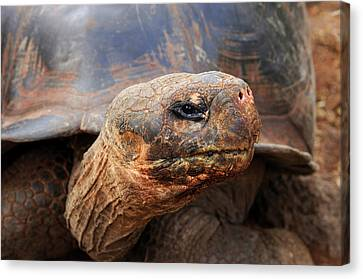 Close Up Of A Galapagos Tortoise, Giant Canvas Print by Miva Stock