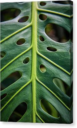 Philodendron Canvas Print - Close Up Of A Green Leaf With Holes by Scott Mead
