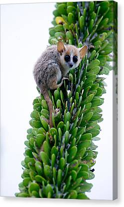 Close-up Of A Grey Mouse Lemur Canvas Print by Panoramic Images