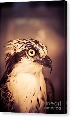 Close Up Of A Hawk Bird Canvas Print by Edward Fielding