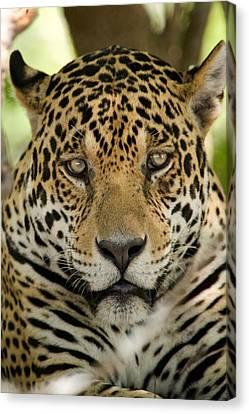 Close-up Of A Jaguar Panthera Onca Canvas Print by Panoramic Images