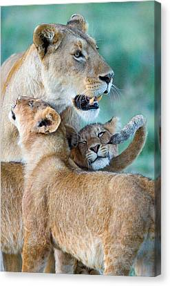 Close-up Of A Lioness And Her Two Cubs Canvas Print by Panoramic Images
