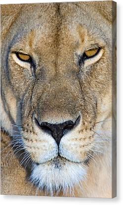 Close-up Of A Lioness, Masai Mara Canvas Print
