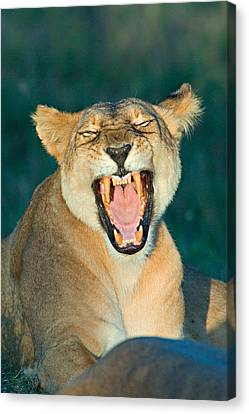 Close-up Of A Lioness Roaring Canvas Print