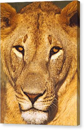 Close-up Of A Lioness, Tanzania Canvas Print by Panoramic Images