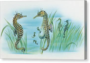 Close-up Of A Male Sea Horse Expelling Young Sea Horses Canvas Print by English School