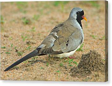 Close-up Of A Namaqua Dove, Tarangire Canvas Print by Panoramic Images