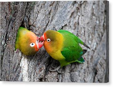 Bonding Canvas Print - Close-up Of A Pair Of Lovebirds, Ndutu by Panoramic Images