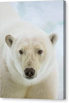 Close Up Of A Polar Bears Head Canvas Print