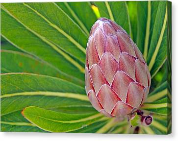 Genus Canvas Print - Close Up Of A Protea In Bud by Anonymous
