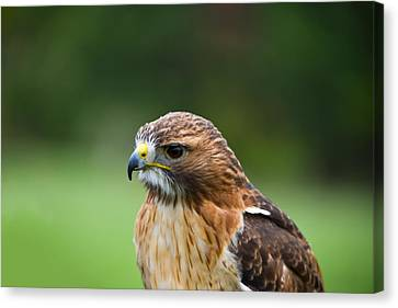 Close-up Of A Red-tailed Hawk Buteo Canvas Print by Panoramic Images