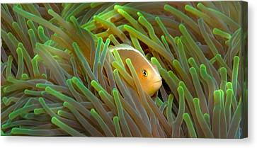 Close-up Of A Skunk Anemone Fish Canvas Print by Panoramic Images