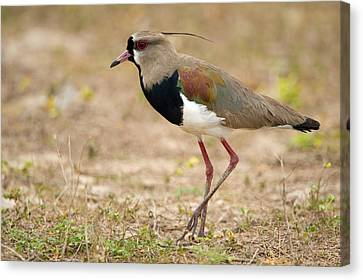 Close-up Of A Southern Lapwing Vanellus Canvas Print