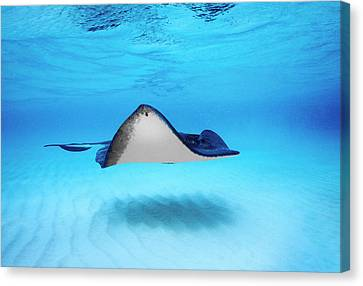 Close-up Of A Southern Stingray Canvas Print