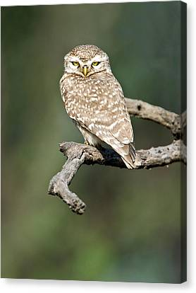 Close-up Of A Spotted Owlet Strix Canvas Print