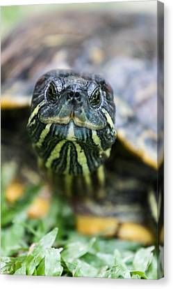 Close-up Of A Turtle Canvas Print