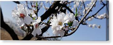 Close-up Of Almond Flowers, Vinaros Canvas Print by Panoramic Images