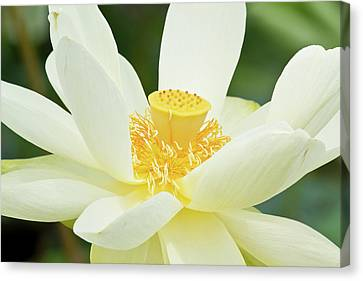 Close-up Of American Lotus Nelumbo Canvas Print by Panoramic Images