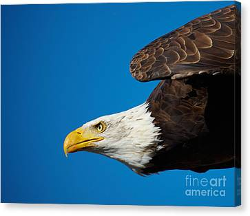 Close-up Of An American Bald Eagle In Flight Canvas Print by Nick  Biemans