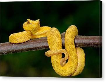Close-up Of An Eyelash Viper Canvas Print by Panoramic Images