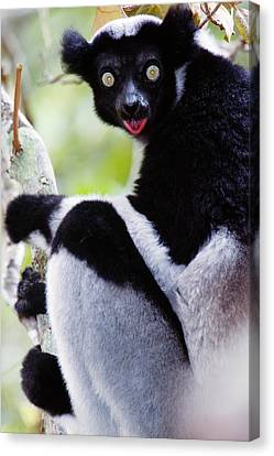 Close-up Of An Indri Lemur Indri Indri Canvas Print by Panoramic Images