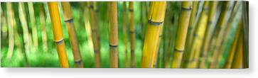 Close-up Of Bamboo, California, Usa Canvas Print by Panoramic Images