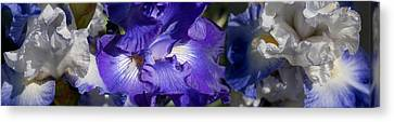 Close-up Of Bearded Iris Plant Canvas Print by Panoramic Images