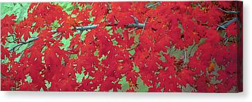 Close-up Of Bigtooth Maple Acer Canvas Print by Panoramic Images