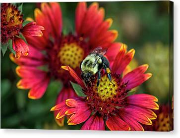 Close-up Of Bumblebee With Pollen Canvas Print