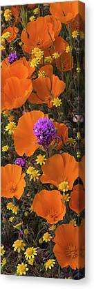 Close-up Of California Poppy Canvas Print by Panoramic Images