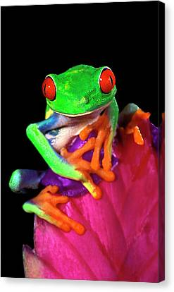 Close-up Of Captive Red-eyed Tree Frog Canvas Print by Jaynes Gallery