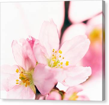 Close Up Of Cherry Blossom Canvas Print by Panoramic Images
