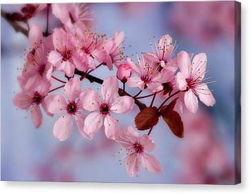 Close-up Of Cherry Blossoms Or Sakura Canvas Print by Jaynes Gallery