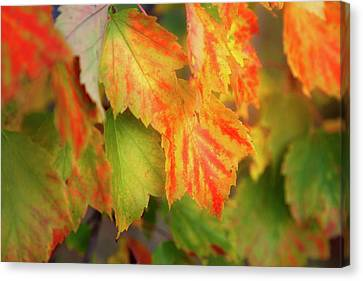 Close Up Of Colourful Leaves Changing Canvas Print by Jenna Szerlag
