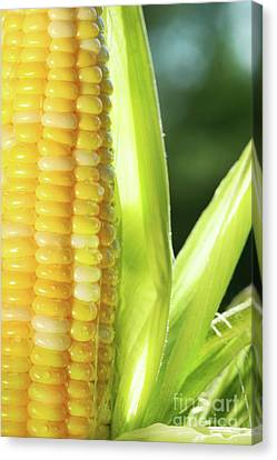 Close-up Of Corn An Ear Of Corn  Canvas Print by Sandra Cunningham