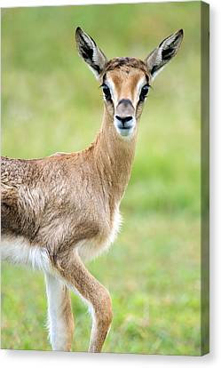 Close-up Of Grants Gazelle Nanger Canvas Print by Panoramic Images