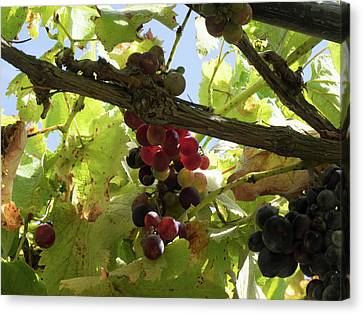 Winemaking Canvas Print - Close-up Of Grapes On Vine, Black Barn by Panoramic Images