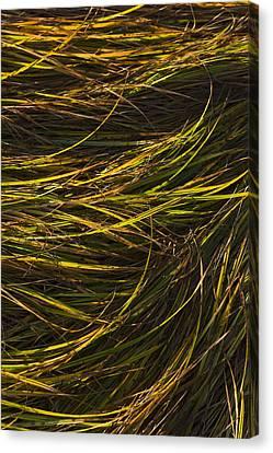 Close Up Of Grass Along Womens Bay Canvas Print