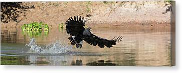 Close-up Of Hawk Fishing In River Canvas Print by Panoramic Images