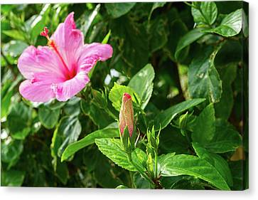 Close-up Of Hibiscus Flower And Bud Canvas Print
