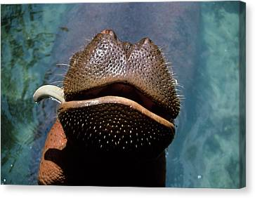 Missing Teeth Canvas Print - Close-up Of Hippopotamus Hippopotamus by Vintage Images