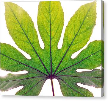 Close Up Of Leaf Vein Canvas Print by Panoramic Images