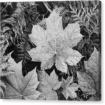 Close Up Of Leaves Canvas Print by Ansel Adams