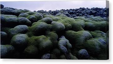 Close-up Of Moss On Rocks, Iceland Canvas Print