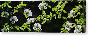 Close-up Of Mountain Dogwood Cornus Canvas Print