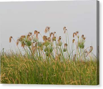 Close-up Of Papyrus Plants, Okavango Canvas Print by Panoramic Images