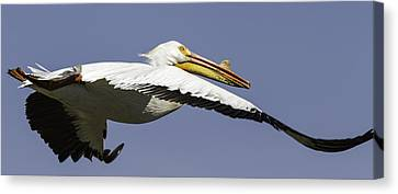 Flying White Pelicans Canvas Print - Close Up Of Pelican In Flight by Thomas Young