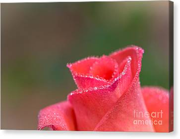 Canvas Print featuring the photograph Close-up Of Pink Rose With Water Drops by Tosporn Preede